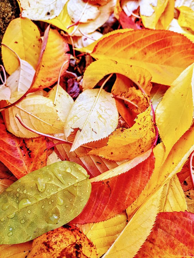 Herbst gefallene gelbe Blätter lizenzfreies stockbild