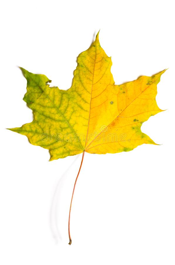 Herbst gefallener Ahornurlaub stockbild