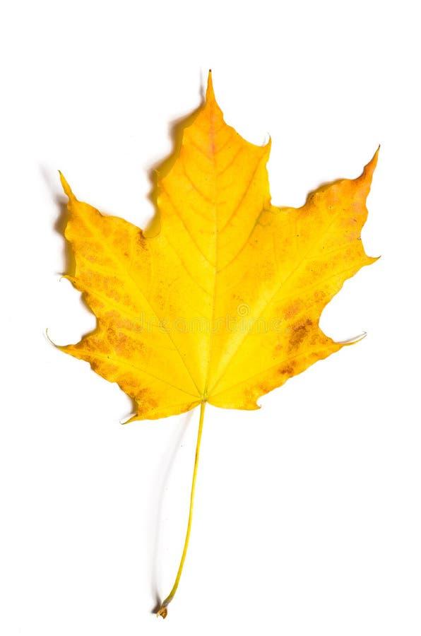 Herbst gefallener Ahornurlaub stockfotografie