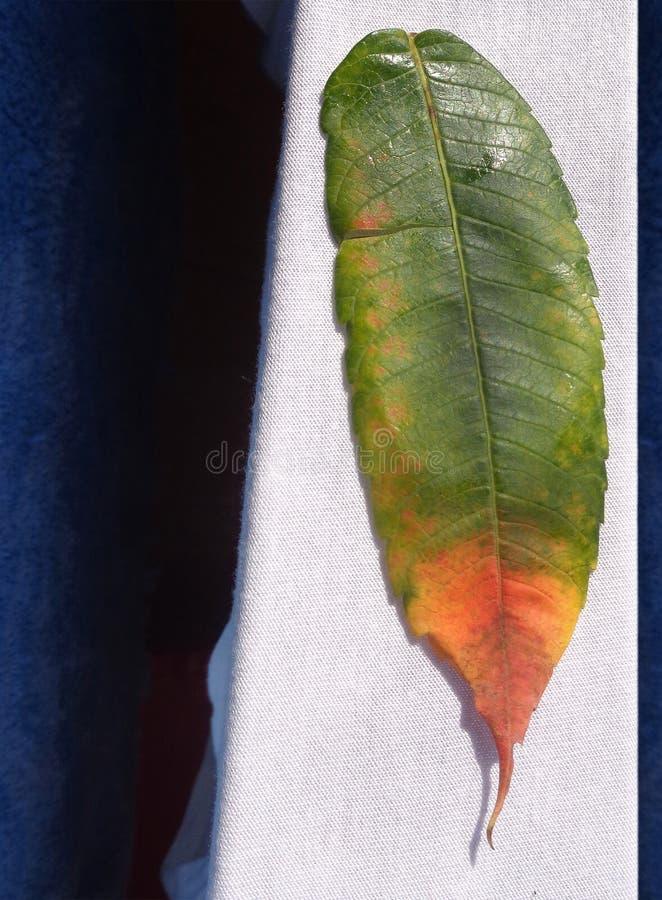 Herbst gefallenes Blatt mit orange Stellen auf weißer trockener Kleidung stockfotografie