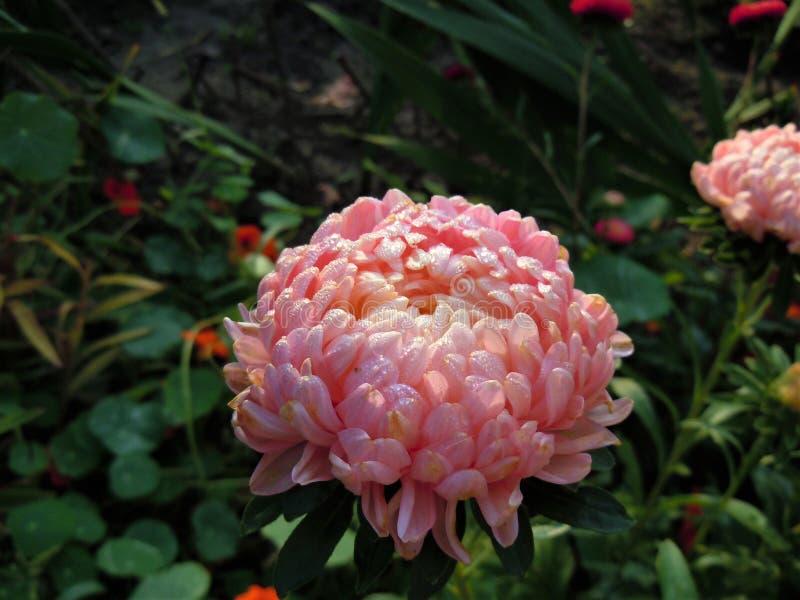 Herbst im Garten Große Sonne Blume Astra morgens mit Tropfen des Taus auf Blumenblättern stockbilder