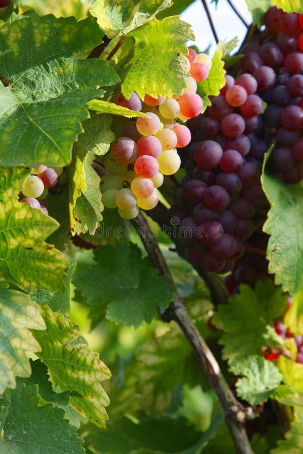 Herbst im Weinberg stockbilder