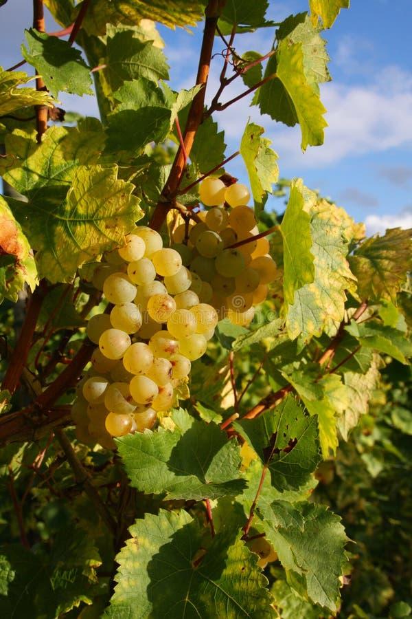 Herbst im Weinberg stockbild