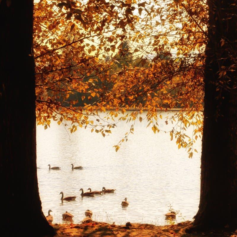 Herbst-kanadische Gänse auf einem See stockbilder