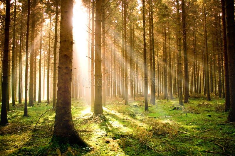 Herbst-Kiefer-Wald lizenzfreie stockfotos