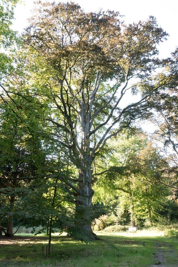 Herbst kommt und dieser alte Baum führt die Weise lizenzfreie stockbilder