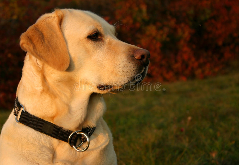 Herbst-Labrador-Portrait lizenzfreies stockbild