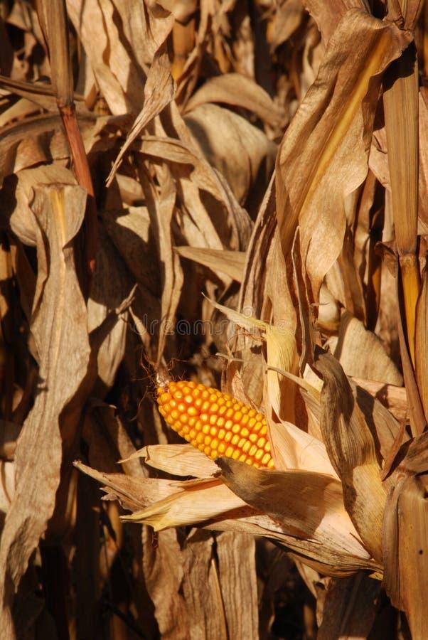 Herbst-Mais-Feld stockfoto