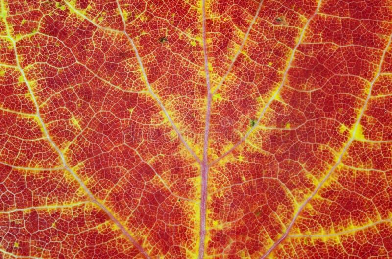 Herbst-Makroblatt lizenzfreies stockfoto