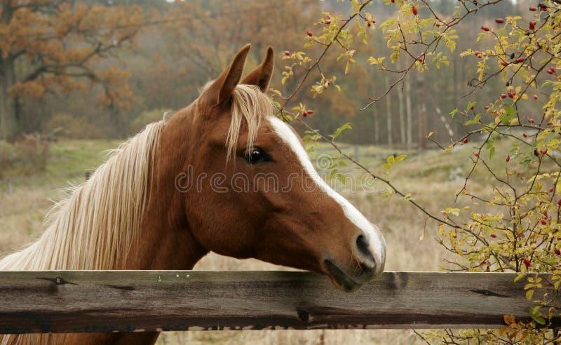 Herbst-Pferd lizenzfreie stockfotografie