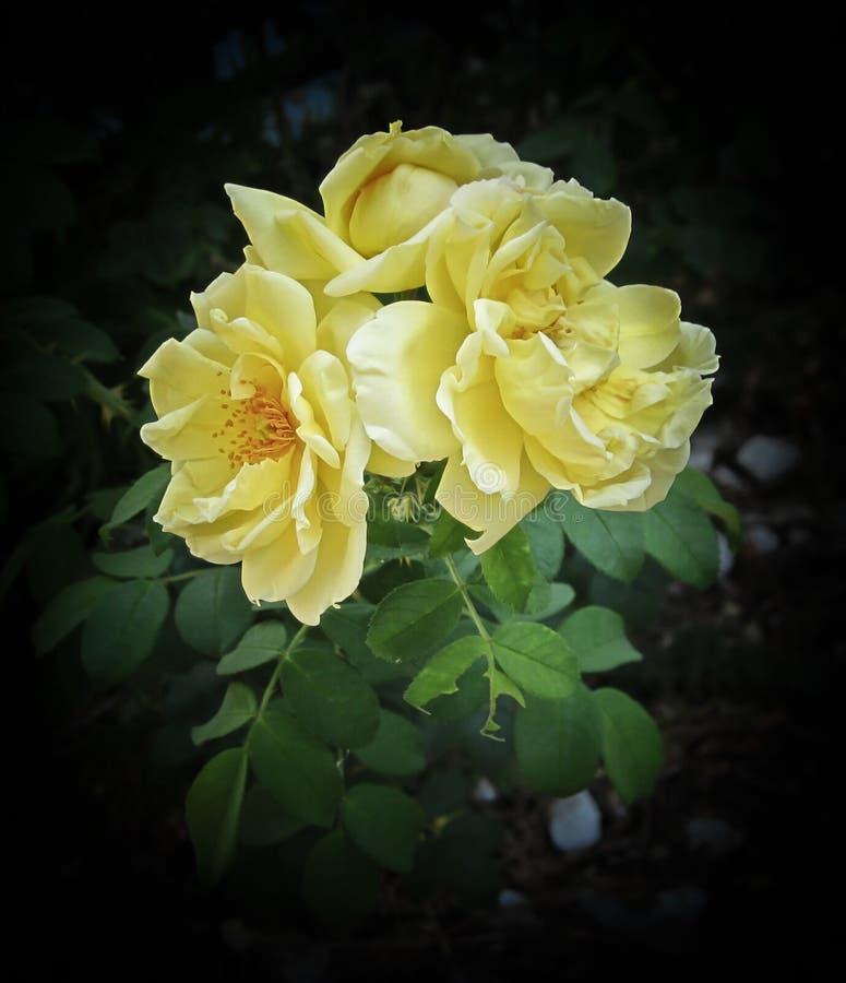 Herbst-Rosen stockfotos