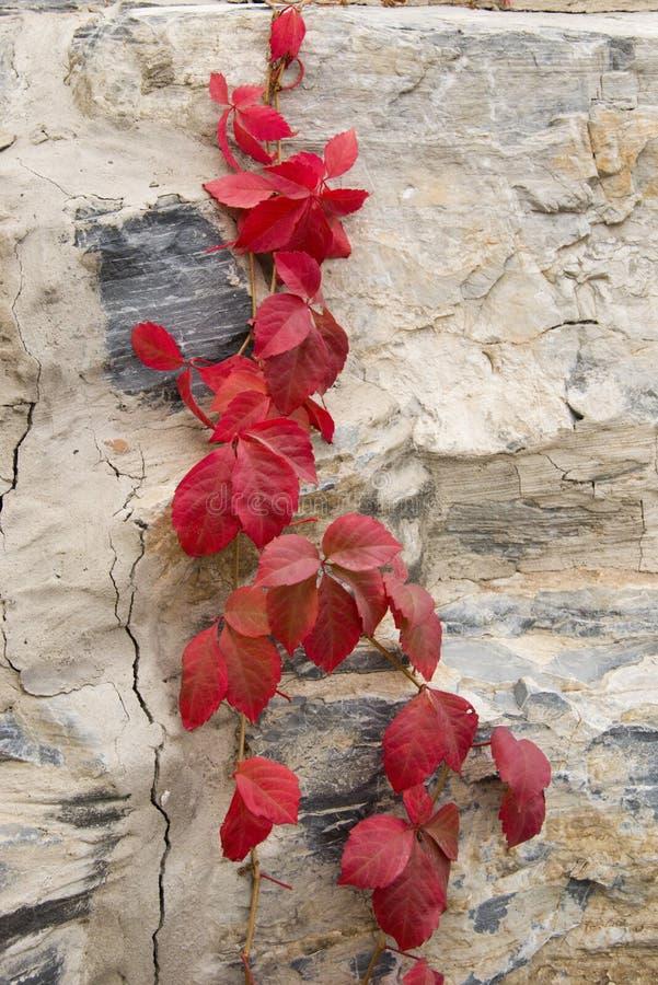 Herbst, rote Blätter, Reben stockfotografie