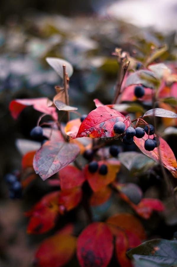 Herbst roter Bush mit Beeren lizenzfreie stockbilder