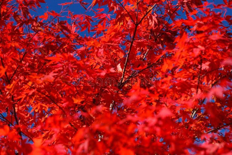 Herbst - rotes Ahornholz lizenzfreies stockbild