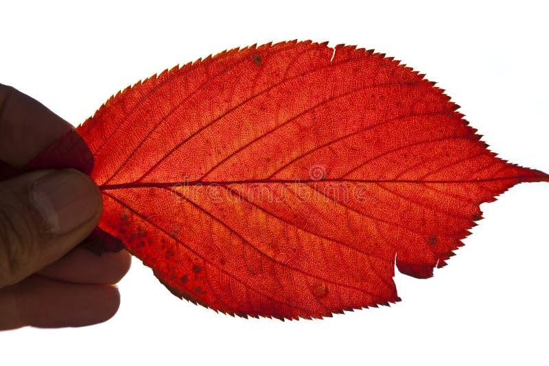 Herbst Sakura-Blatt lizenzfreie stockfotos