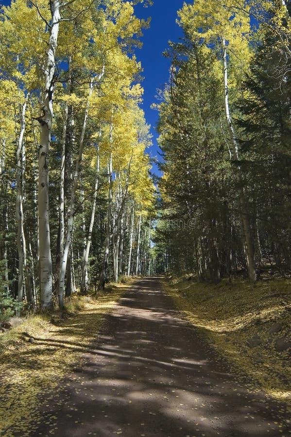 Herbst-Straße durch Zitterpappeln stockbilder