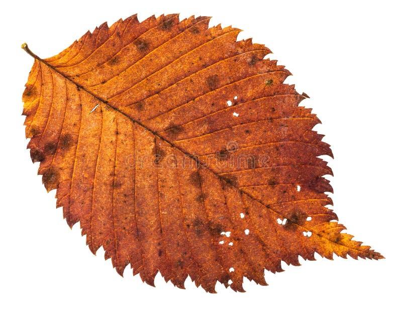 Herbst verfiel das holey Blatt des Ulmenbaums lokalisiert stockfoto