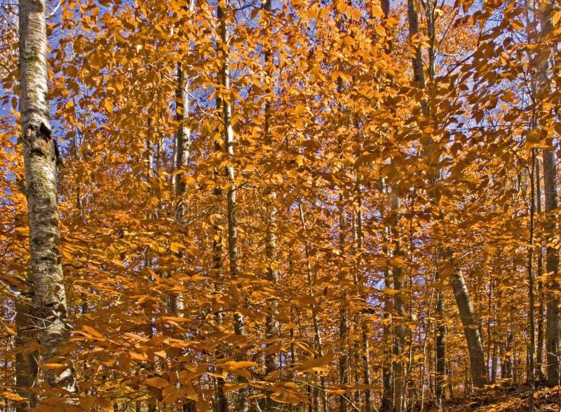 Herbst-Wald lizenzfreie stockfotografie