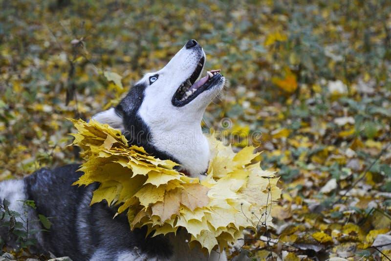 Herbst Weg im Wald mit einem Haustier lizenzfreie stockfotografie