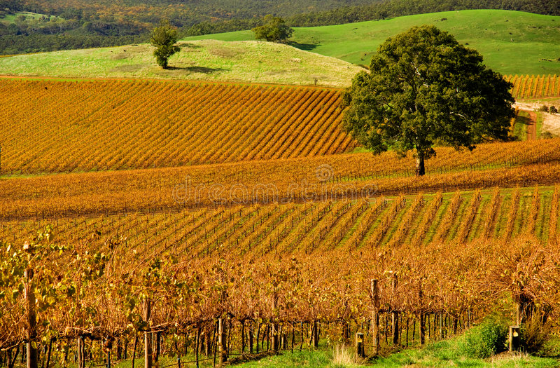 Herbst-Weinberg stockfoto
