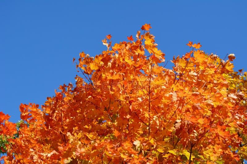Herbstahornblätter auf dem Hintergrund des blauen Himmels Leuchtorangelaub in der Herbstsaison lizenzfreie stockbilder