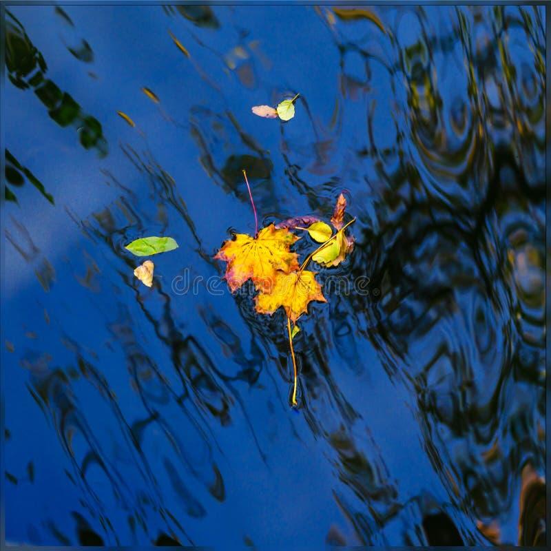Herbstahornblatt auf dem blauen Seewasser stockfoto