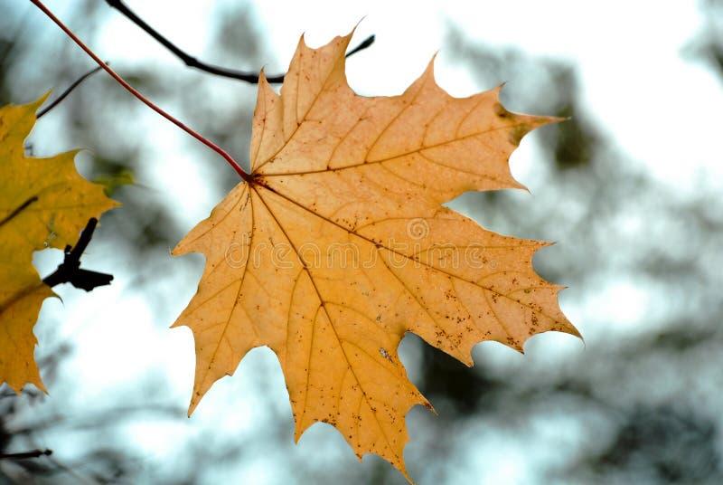 Herbstahornholzurlaub lizenzfreies stockfoto