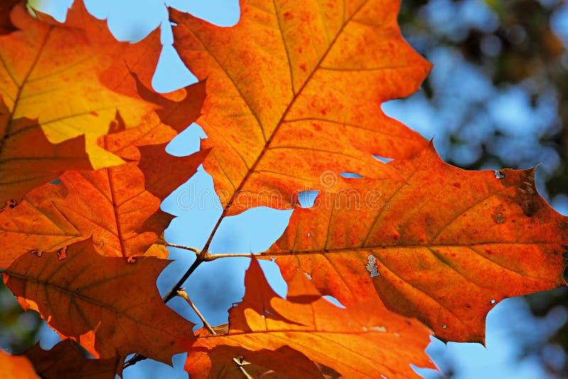 Herbstansicht - eine Nahaufnahme von orangeroten Blättern von rote Eiche Eiche rubra auf einem Hintergrund des blauen Himmels stockbilder