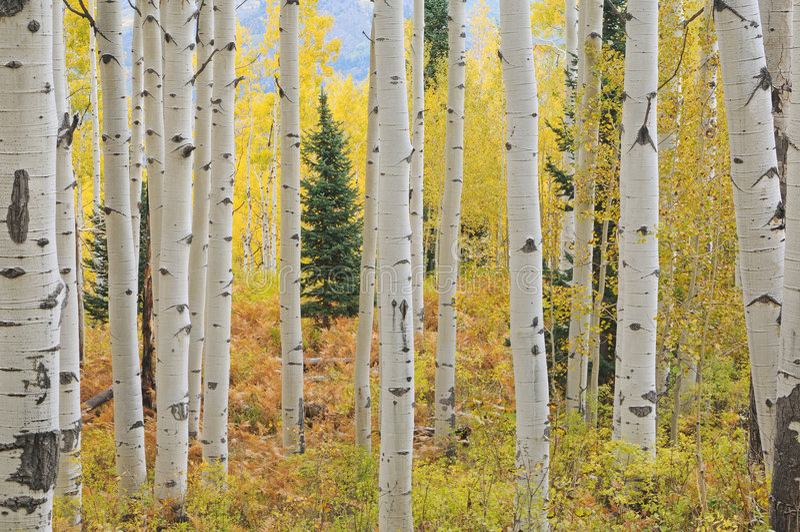 Herbstaspen-Wald lizenzfreie stockfotografie