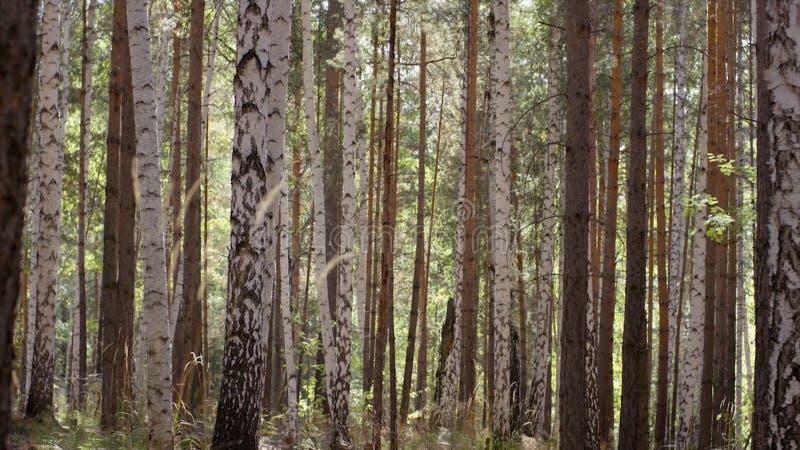 HerbstBäume des Waldes Grüne hölzerne Sonnenlichthintergründe der Natur Baum mit goldenen Blättern im Herbst und in den Sonnenstr lizenzfreies stockfoto