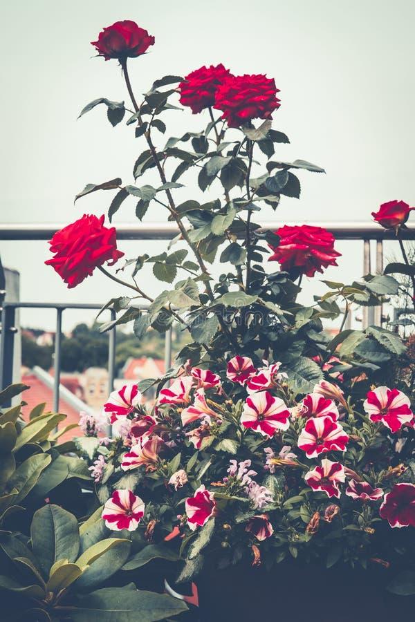 Herbstbalkongarten mit Rosen und Petunie Verschiedene Blumentöpfe und Zierpflanzeblätter stockbilder