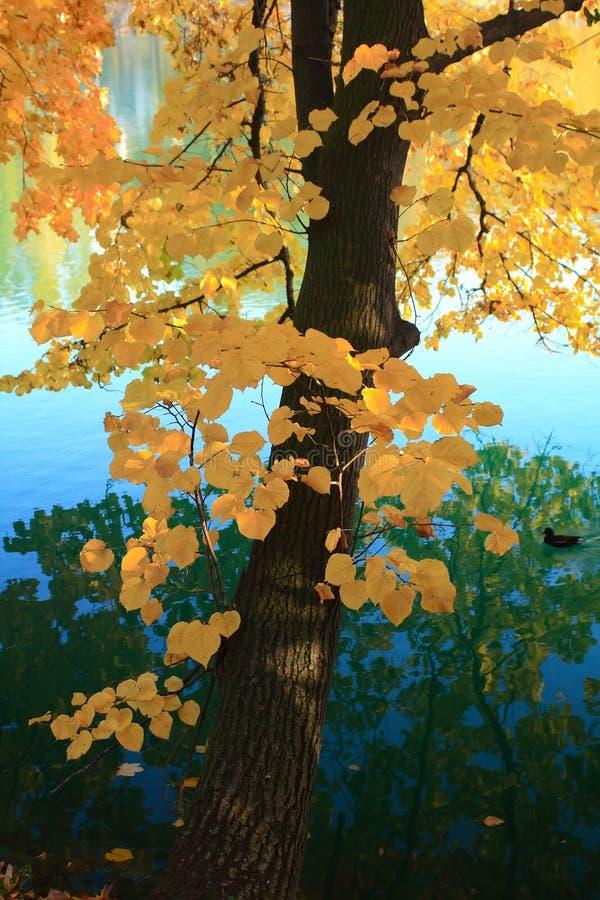 Herbstbaum über dem Wasser lizenzfreies stockbild