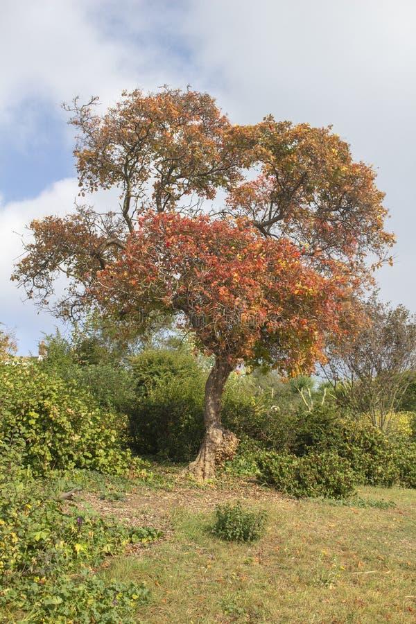 Herbstbaum in Southend Cliff Gardens, Southend-auf-Meer, Essex, England lizenzfreies stockfoto