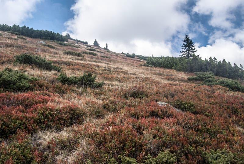 Herbstbergwiese mit Heidelbeere und Brombeersträucher, Bergkiefer und wenige kleine treess lizenzfreie stockfotografie