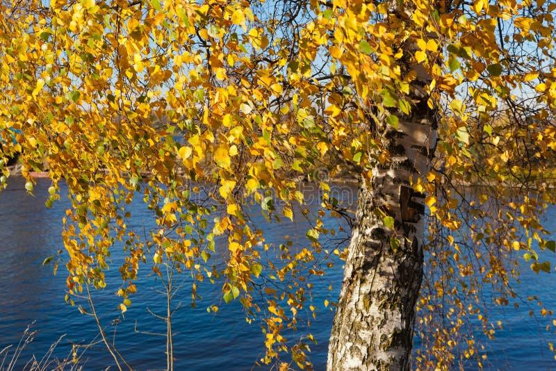 Herbstbirke lizenzfreie stockbilder