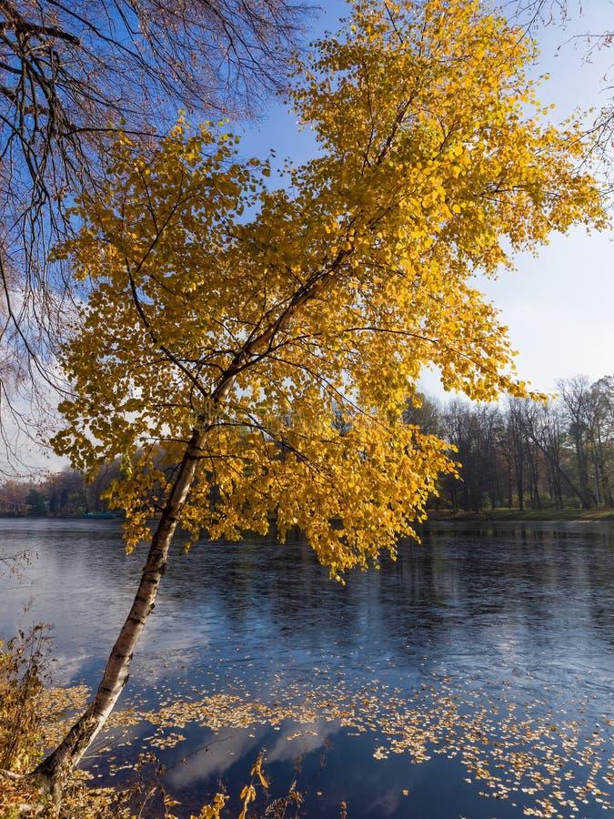 Herbstbirke lizenzfreie stockfotografie
