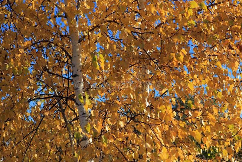 Herbstbirke lizenzfreie stockfotos