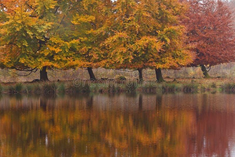 Herbstbirkenbäume stockbilder
