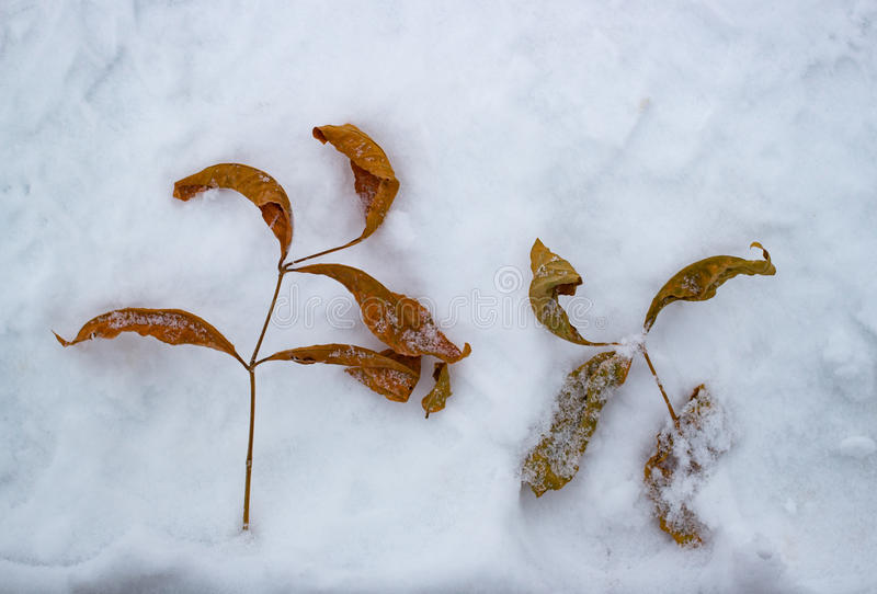 Herbstblätter auf dem Schnee kalt stockfotos