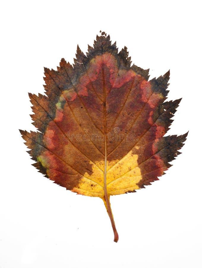 Herbstblatt. lizenzfreie stockbilder