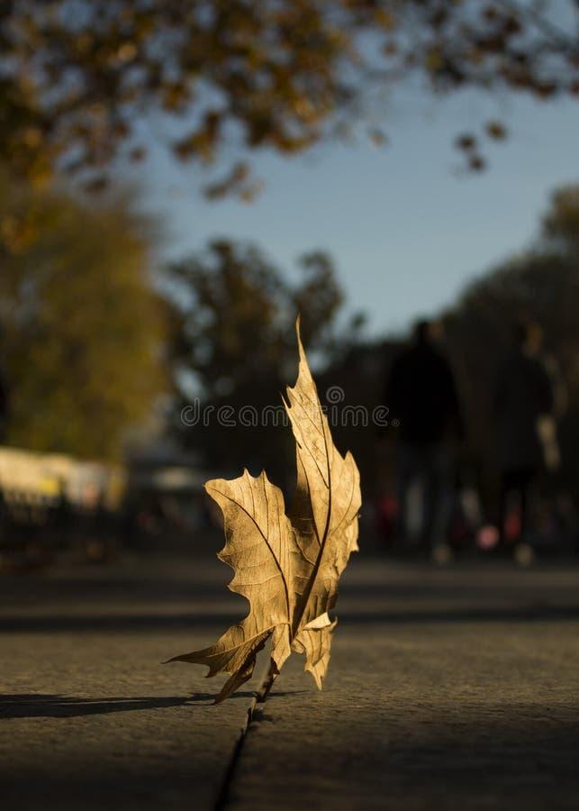 Herbstblatt im Zurückziehenabendsonnenlicht lizenzfreies stockbild