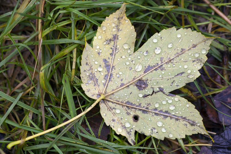 Herbstblatt mit Dewdrops lizenzfreies stockfoto