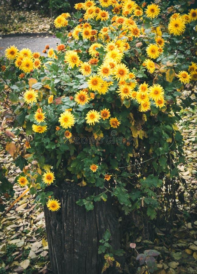 herbstblumen sch ne chrysanthemen im blumenbeet gelbe astern die im park wachsen stockbild. Black Bedroom Furniture Sets. Home Design Ideas