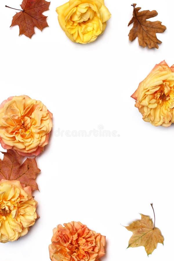 Herbstblumenrahmen gemacht von den bunten Ahorn- und Eichenblättern, Verblassenrosen lokalisiert auf weißem Hintergrund Fall und stockbild