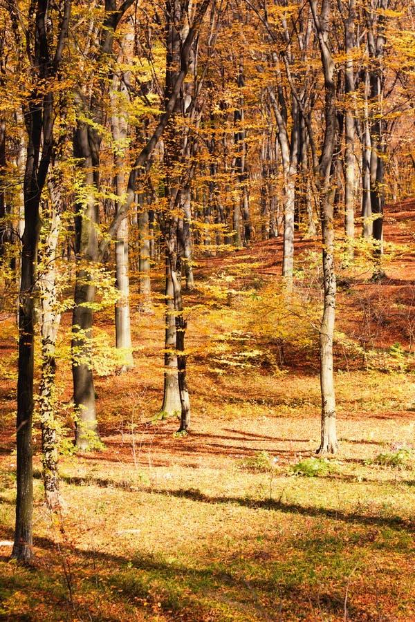 Herbstbuchenwald lizenzfreies stockbild