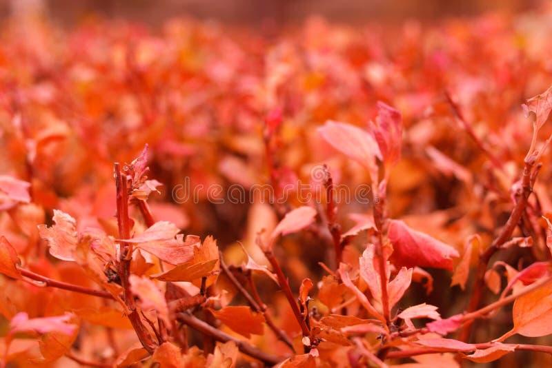 Herbstbuschlaub stockbilder