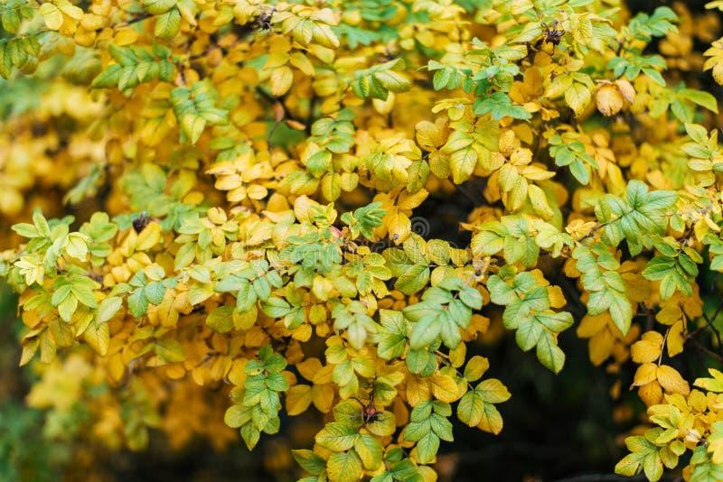 Herbstbuschnatur, Gelbgrünlaub, im Sommer im Park, auf dem Straßenrand lizenzfreies stockbild