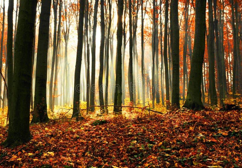 Herbstdämmerung im Buchenwald. lizenzfreie stockbilder