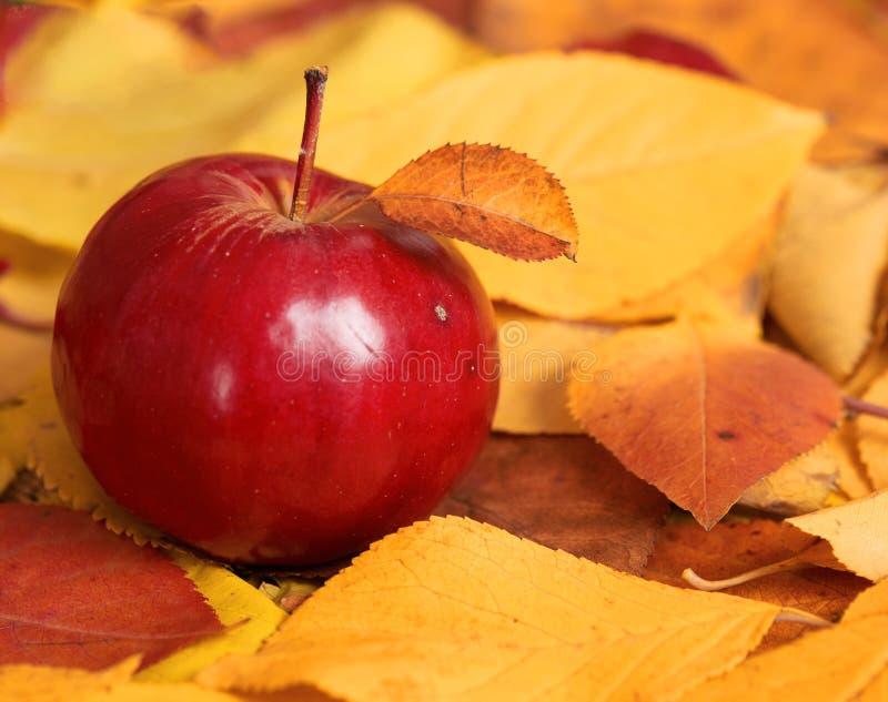 Herbsternte - ein roter Apfel ist auf gefallenen gelben Blättern Perfekter Hintergrund für Herbstsaison stockfotografie