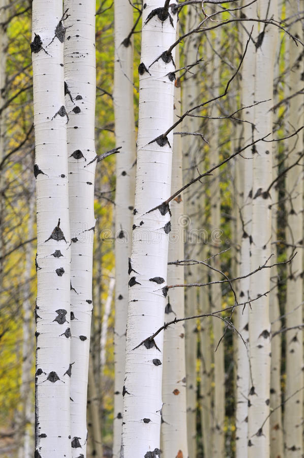Herbstespenwaldung stockfotos